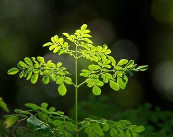 "Organic Moringa Oleifera Tree Seedling (12"")"