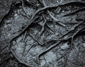 roots, 8x10 fine art black & white photograph, nature