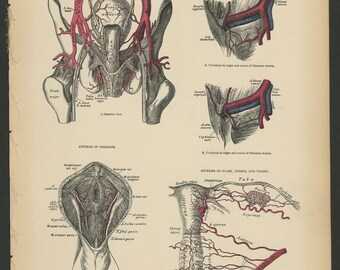 5 Vintage 1880 Human Anatomy Lithograph Internal Organs, Lungs, Abdominal, Uterus, Vertebrae, Veins, Arteries
