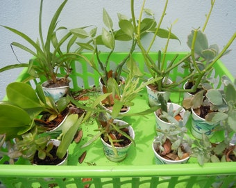12 Starter plants plugs Cactus Succulents Container Gardening Houseplants