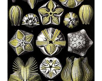 Ernst Haeckel's Vintage Artwork Blastoidea