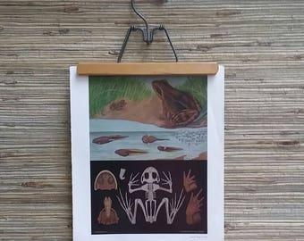 "Vintage Frog Anatomy Plate From 1963 German Science Book 11"" x 13"""