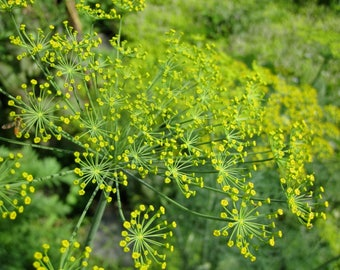 Dill Seeds - Butterfly attractor