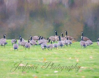 Canadian Geese on the Grass