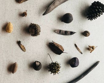 Seed Pod Nature Study Collection with ID Cards, great for montessori, reggio, waldorf, and charlotte mason homeschool learning