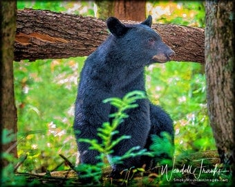 Pencil-stroke Bear E246.  Black bear making a public appearance.  Cades Cove, Smoky Mountains, Black Bear, National Park, Wildlife, Nature