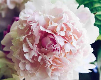 Peony Flower Photography - Pastel Pink Peonies Floral Spring Fine Art Wall Print