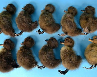 Real  Taxidermy  A group of 10 black ducks damaged,art display,free shipping to worldwide