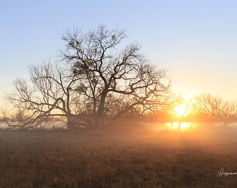 Foggy Oak Tree (digital photograph on metal print)