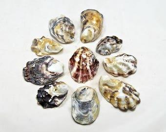 Oyster shells, set of 50 dark shells. Seashells, seashell supply, craft shells, wedding decor, beach decoration, natural shells ,DIY shells