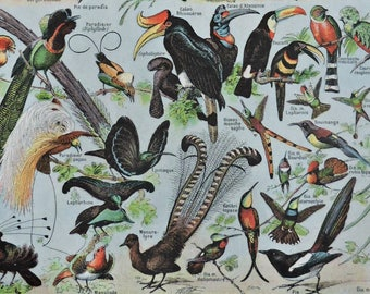Birds print . Old book plate, 1922. Antique  illustration. 95 years lithograph. 8'1 x 11'4 inches.