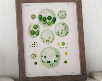 Volvox, Algae through the Microscope Science Print - Biology Art - Micro-organism Print - Microbiology Art - Science Student Gift