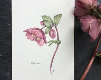 Hellebore - original coloured pencil drawing