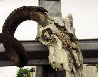Photo Print | Wall Art | Canvas | Ram Skull | Photography | Horn | Bones| Fence | Wall Hanging | Home Decor |