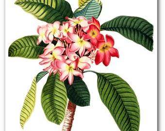 Pink Flower Print, Botanical Plumeria, Botanical Illustration, Floral Theme Decor, 8 x 10 inches, Unframed