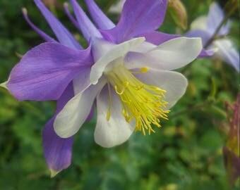 Lavender Blue Columbine Seeds