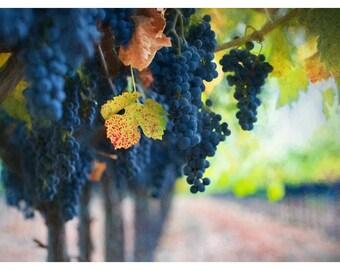 grape vines, purple grapes, vineyard, grapes on the vine, wine lover wall art, fruit photography, grape crush, autumn vineyard photo, 16x24