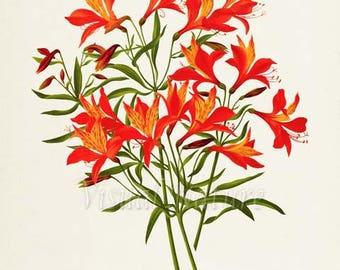 Peruvian Lily Flower Art Print, Botanical Art Print, Flower Wall Art, Flower Print, Floral Print, Lily Art Print, Home Decor, orange