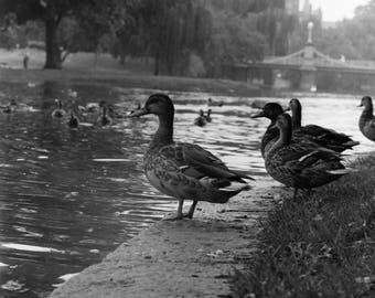 Boston Public Garden Ducks
