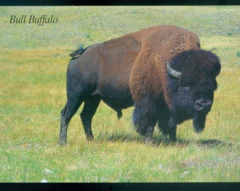 American Buffalo or Bison Custer State Park Black Hills SD Oversize Photo Postcard