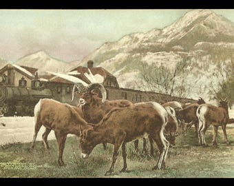 Mountain Sheep Postcard Feed Near Train Ouray Colorado  Albertype CO PC for Wardell Store