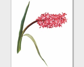 Pink Flower Botanical Print (French Country Decor, Minimalist Wall Art) --- Queen Dutch Hyacinth