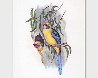 Budgie Art, Parakeet Print (Yellow Home Decor, Country Cottage Wall Art) --- 19th Century John Gould Artwork