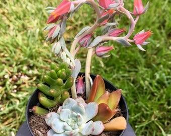 Fresh, Mini Succulent Arrangement
