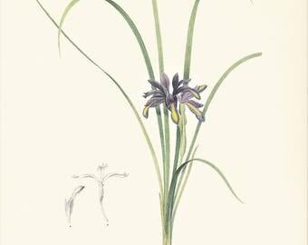 violet Iris graminea botanical plant print vintage illustration by Redouté gift for gardener plant lover cottage decor  8.5 x 12 inches