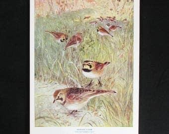 Vintage Horned Lark Bird Print and Educational Leaflet, Audubon Society