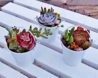 Live Succulent Plant* Gift/ Wedding/Arrangement/Centerpiece/Fairy Garden/Terrarium/Rare/Colorful/Party Favor/Birthday/Indoor/Outdoor/Office