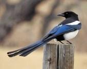 Custom Bird Plush - Magpie