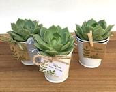 30 Succulent Favors-Succulents-Succulent Bridal Shower Favors-30 Plant Favors-Baptism Favors-30 Favors in White Pails-Wedding Succulents