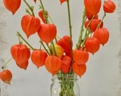 Dried Chinese Lantern seed pods and stems. Halloween . Physalis alkekengi plants, for crafts  and arrangements LOT N