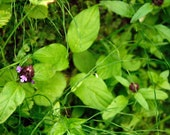 Organic Hand-Picked Self Heal: wound healing, gastrointestinal health, etc - dried sustainably harvested wild herbs - prunella vulgaris