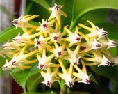 Shooting Star Hoya Multiflora Rare Collector's Houseplant Succulent House Plant Apocynaceae Easy Flowering Indoor Plant Canada