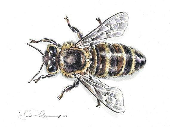 Queen Bee Scientific Illustration | www.imgkid.com - The ...