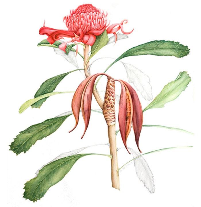 Australian Plants Drawing