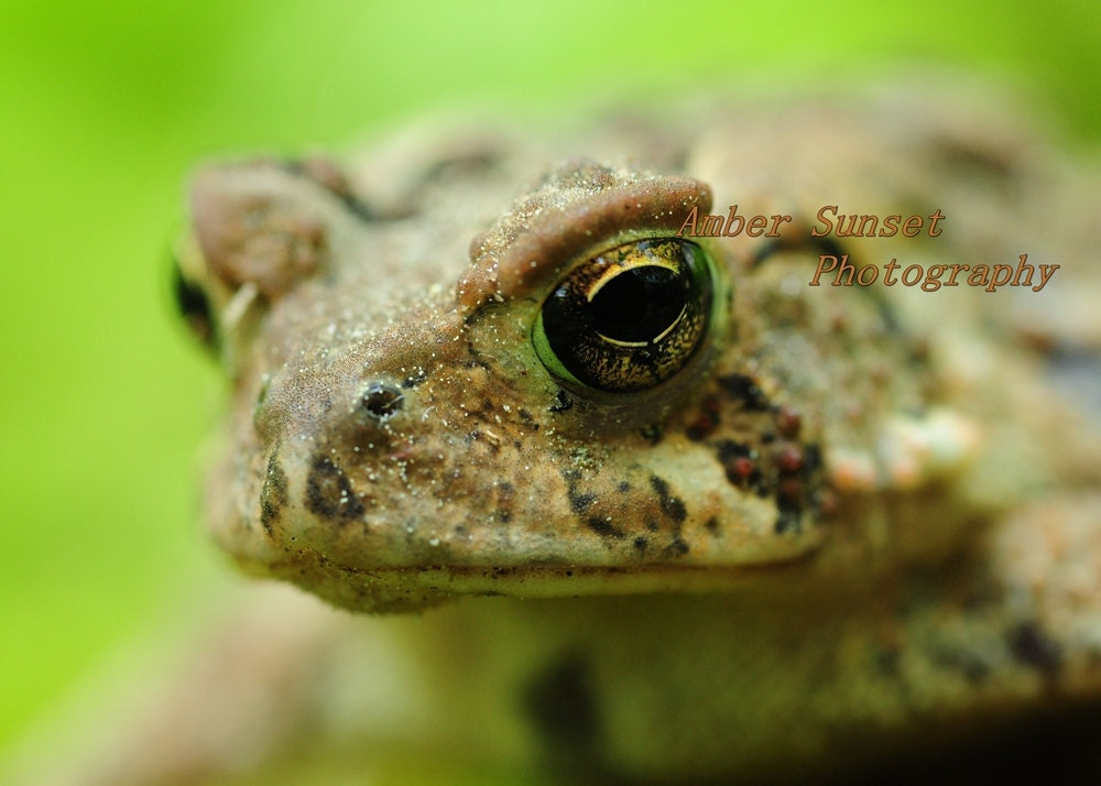 A Toad's Eye View Fine Art Print 5x7 Nature - Frog Prince Green Woodlands North American New England Eye - michaelpurcell