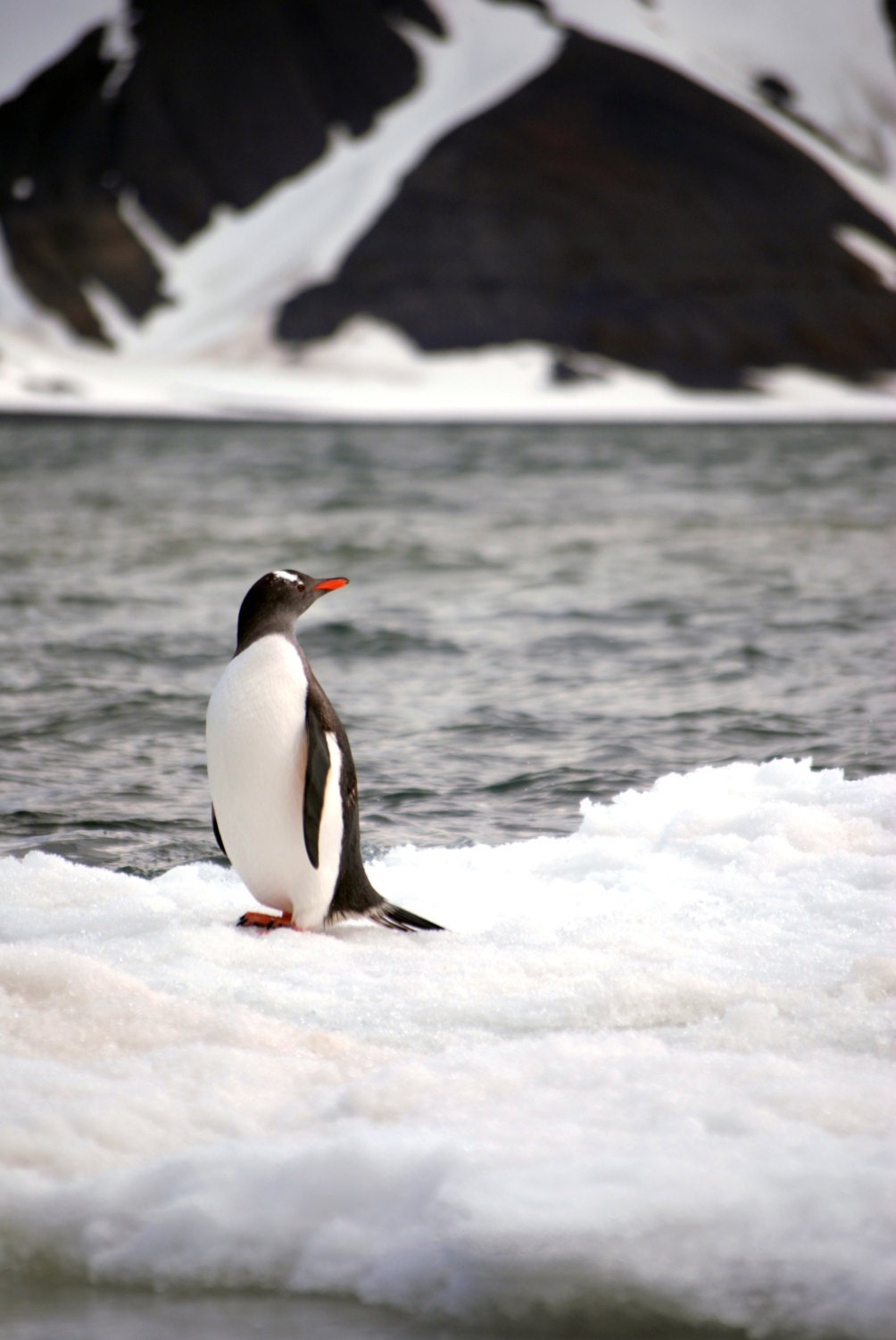 Gentoo penguin at Deception Island in Antarctica print in color or black and white. - MaggieMPhotography