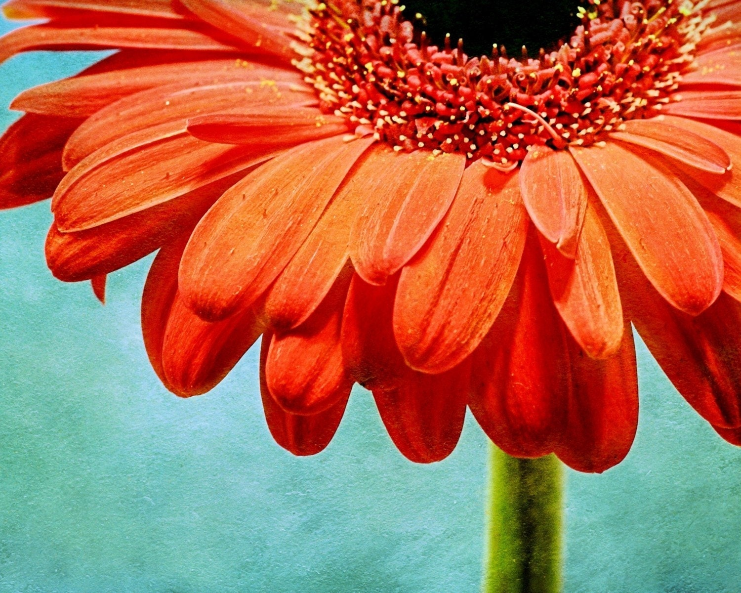 Textured - 20x24 Canvas RESERVED for  STACY Orange Gerbera Daisy Flower by Shannon Leigh Studios - shannonleighstudios