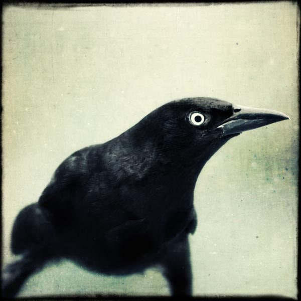 Raven Art, Crow Photo, Gothic Art Print, Wall Art, Fine Art Photograph, Black Bird Art, Bird Photography, Spooky, Goth, Fine Art Photo - RockyTopPrintShop