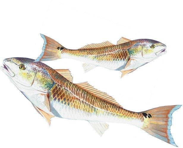 11x14 Red Drum Fish Print Redfish By Billfishart On Etsy