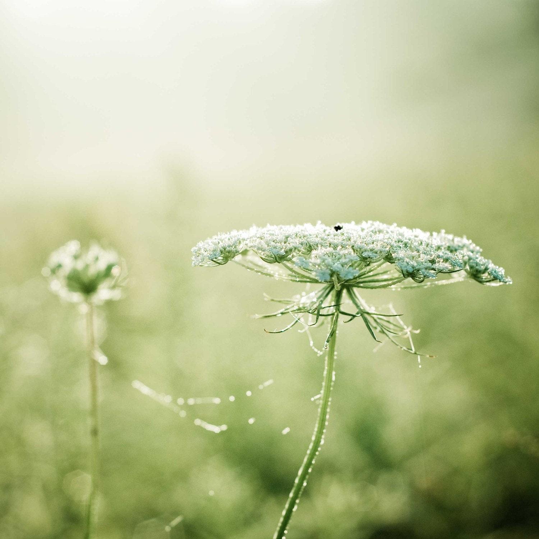 Королевы Анны.  Летом фотографии природы.  цветок фотографии.  зеленый коттедж шикарный искусства.  мечтательный декора дома.  готовы к кадру