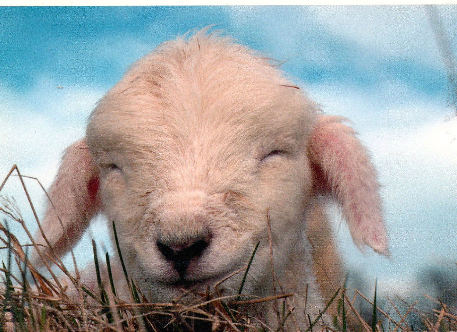 Lamb, Sheep, Great nursery decor or baby shower gift...SMILE, New born lamb, color photograph taken in New Zealand