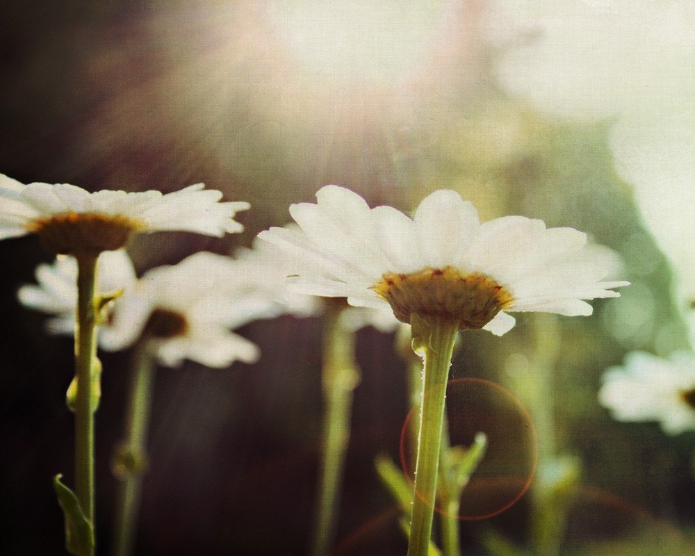 Flower Photography - Garden Daisies at sunrise - sun flare - studionumber7