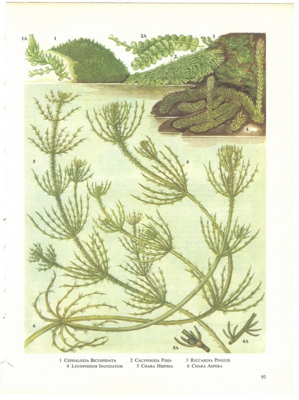 Vintage Seaweed Print, Green Marsh and Lake Plants Natural History Bookplate 93 - amykristineprints