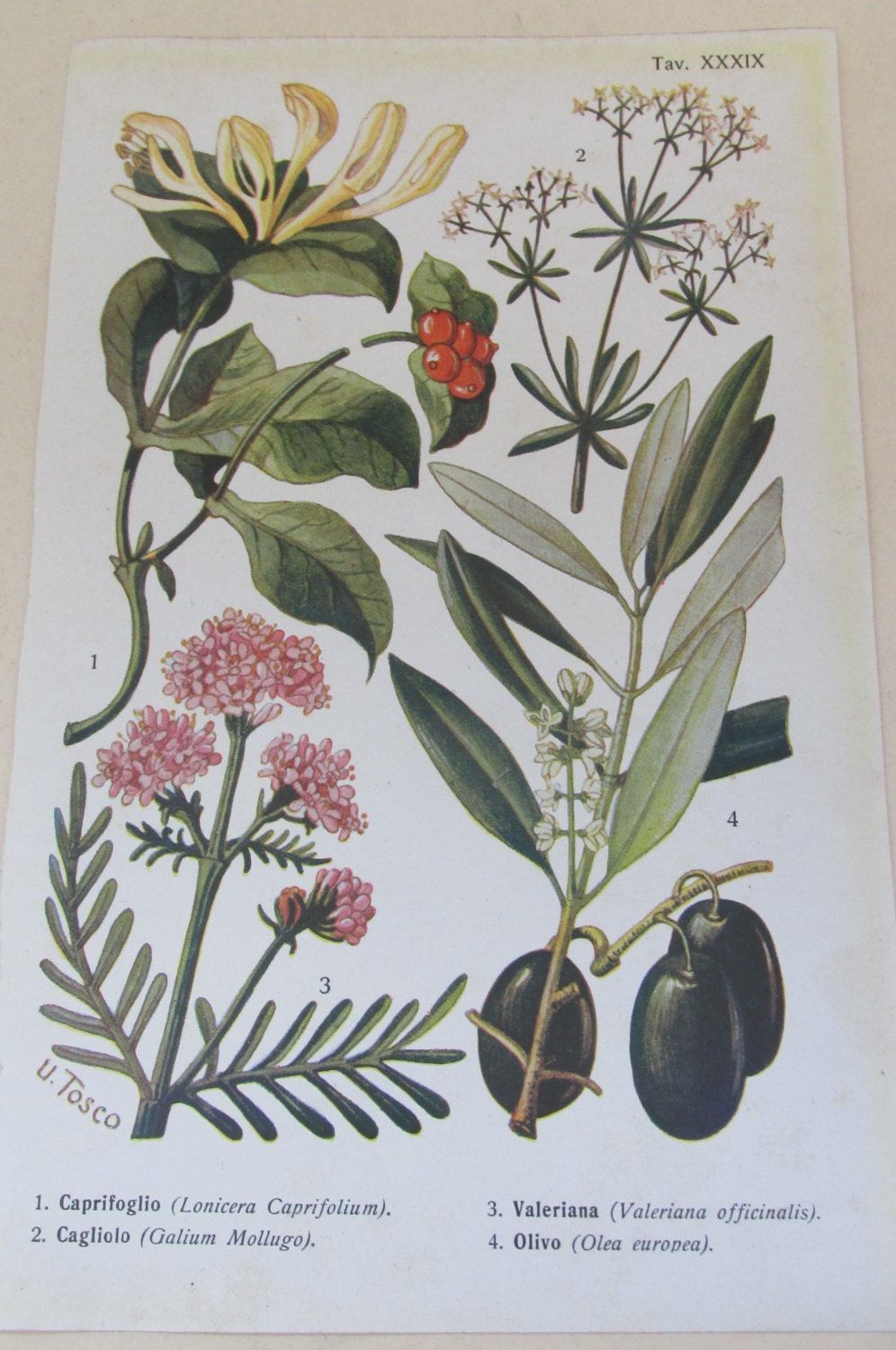 Antique 19th Century Italian Botanical Coloured Book Plate  Olive  Ideal For Framing  XXXIX