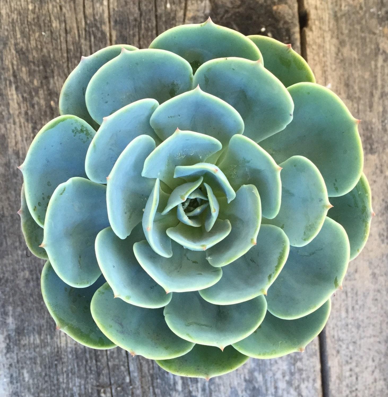 Blue rose echeveria