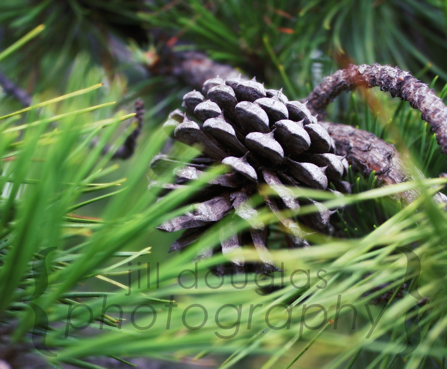 "Pinecone Photography Print 8x10"", Matted"